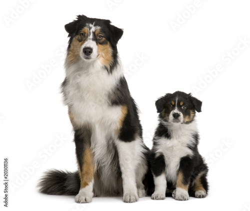 Two Australian Shepherd dogs, 1 year old and a puppy - Buy this