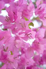 Sunlight Pink Bougainvillea