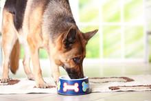 Dog German Shepherd Eating Or ...