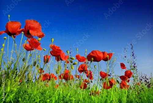 Poster Poppy Flowers poppy