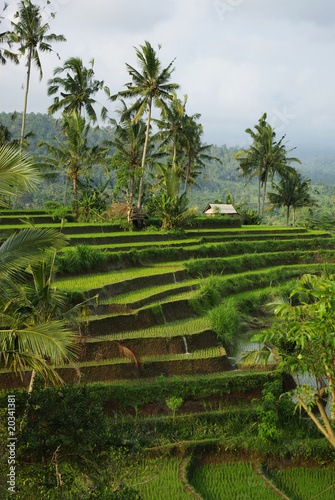 Photo Stands Bali Young ricefields with coconut palms and irrigation system