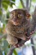 Tarsier - Worlds smallest primate