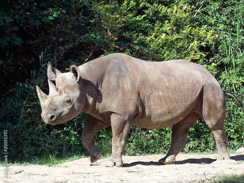 Poster Rhino Rhinoceros