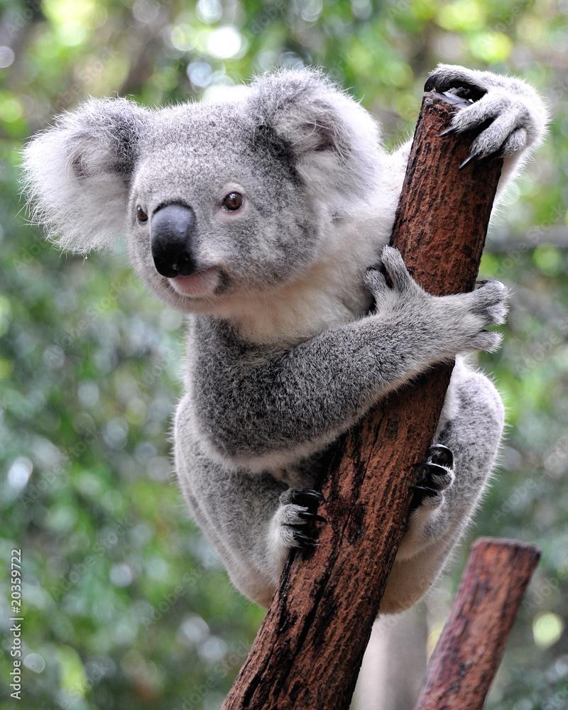 Fototapeta Curious koala