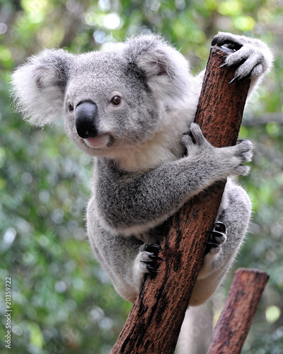 Photo Stands Australia Curious koala