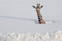 Giraffe In Deep Snow