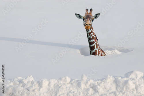 Deurstickers Giraffe Giraffe in deep snow