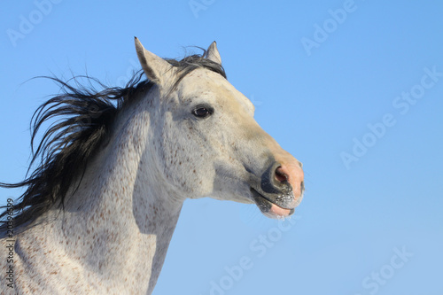 Foto op Canvas Paarden arab stallion