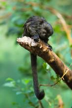 Goeldi's Monkey (lat. Callimico Goeldii)