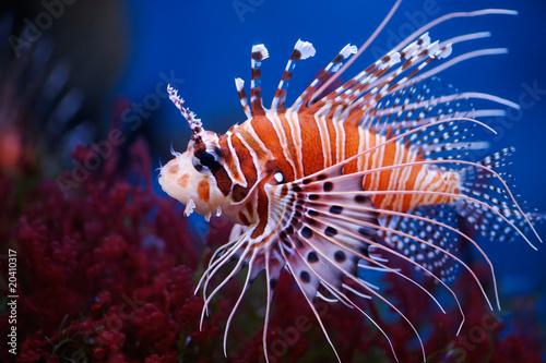 Poster de jardin Sous-marin Lionfish