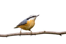 Red-breasted Nuthatch Perched ...