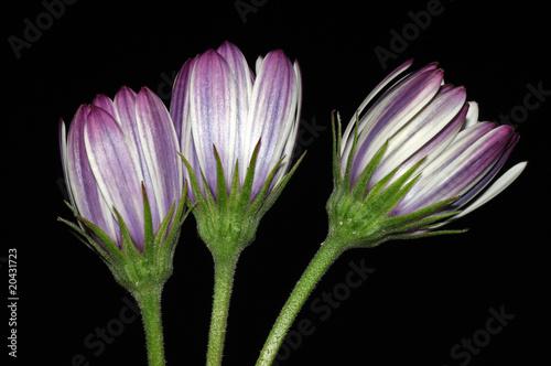 Foto-Lamellen - flores fondo negro