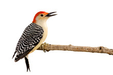 Profile Of Red-bellied Woodpecker With Beak Open