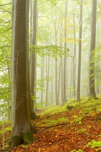 Garden Poster Forest Picturesque autumn beech forest in the fog