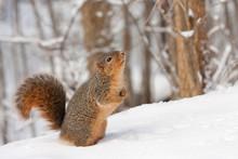 Fox Squirrel (Sciurus Niger}