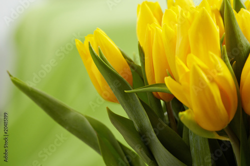 Poster Tulip Yellow tulips