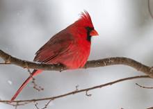 Male Cardinal In Winter Storm