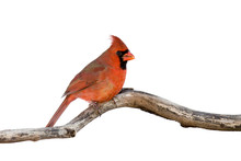 Profile Of A Male Cardinal Sitting On A Branch