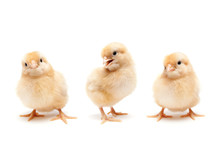 Three Cute Baby Chickens Chicks Isolated On White