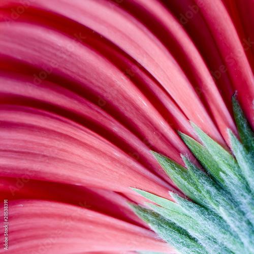 Aluminium Prints Macro photography red gerber