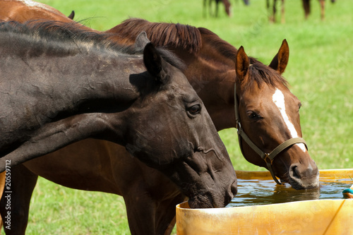Foto auf AluDibond Pferde Pferde trinken