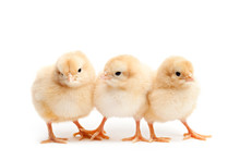 Three Cute Chicks Baby Chicken...