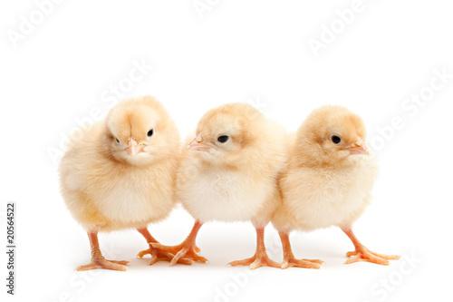 three cute chicks baby chicken isolated on white Fototapeta