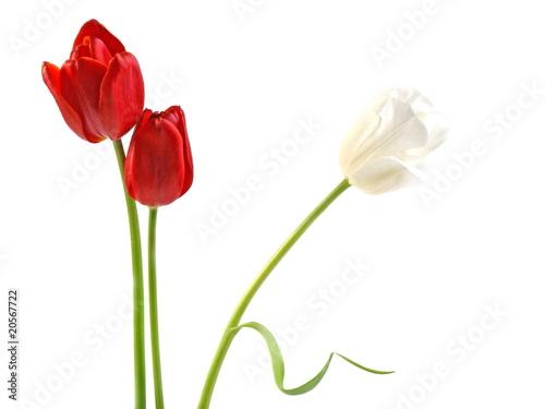 Wall Murals Tulip Tulpen