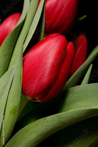 Naklejki tulipany czerwone-tulipany-na-czarnym-tle-makro