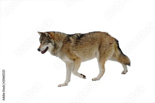 Photographie  Loup freigestellt