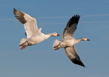 Fkying Snow Goose