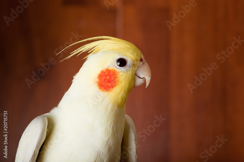 Valokuva  Cockatiel, Cockatoo Parrot, Quarrion, Weero, Nymphicus hollandic