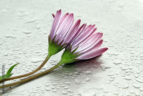 Foto-Lamellen - flores mojadas (von kesipun)