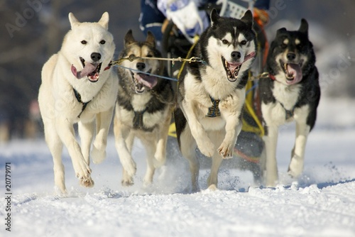 Photo front view at four  alaskan malamute at race in winter