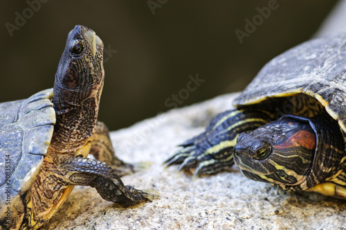 Red eared slider turtles Canvas Print