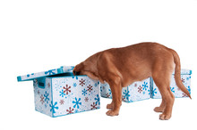 Little Dogue De Bordeaux Puppy