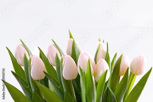 bialy-tulipan-kwiatowy-tlo