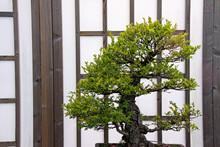 Japanese / Oriental Bonsai Tre...