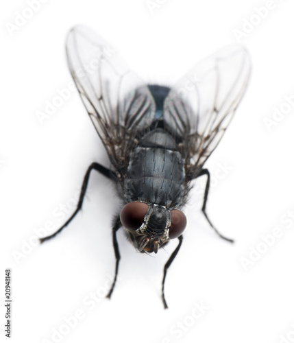 High angle view of Housefly, Musca domestica, standing