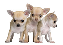 Chihuahua Puppies, Standing In Front Of White Background