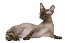 Old Sphynx Cat, Lying In Front Of White Background