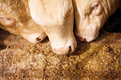 Poster de jardin Vache Trois vaches