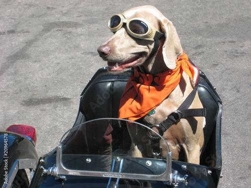 Scooter cane motociclista