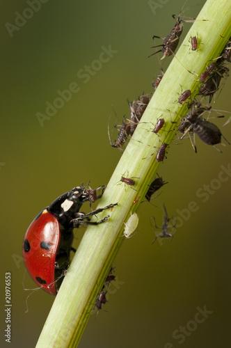 Photo Ladybug eating aphid