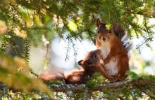 Breastfeeding Squirrel