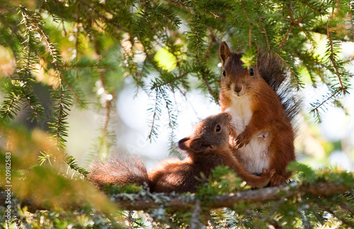 Foto op Plexiglas Eekhoorn Breastfeeding Squirrel