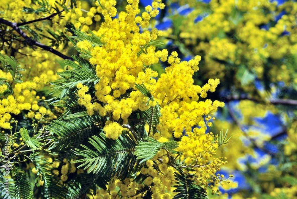foto mimosa fiore da