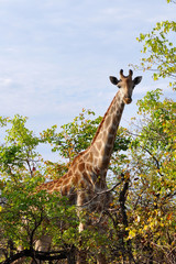 Fototapetacurious giraffe in Kruger national park,South Africa