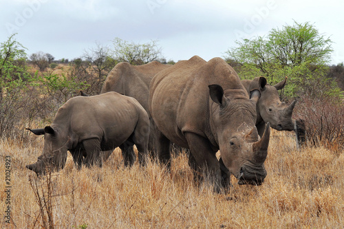 Spoed Foto op Canvas Neushoorn rhino family in Kruger national park