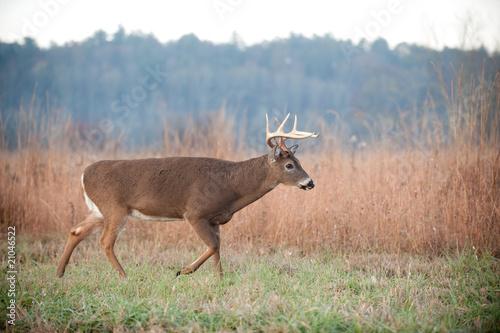 Poster Deer Whitetail buck walking through field